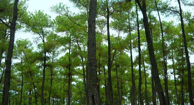 rừng thông