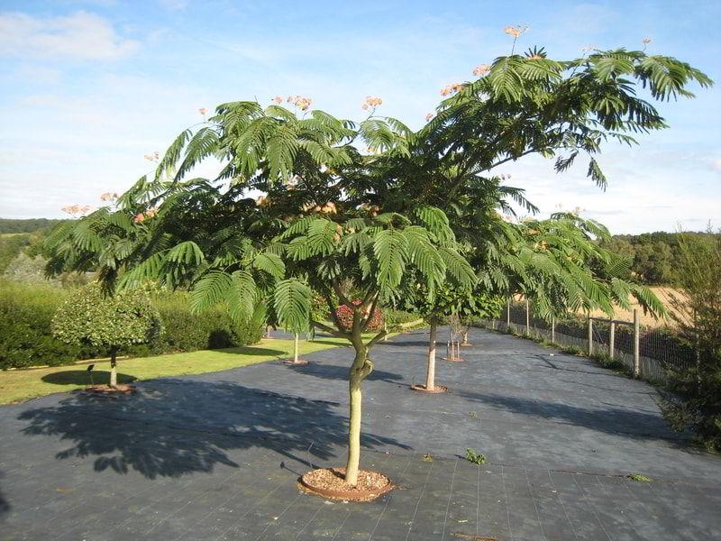 cây me tây nhỏ