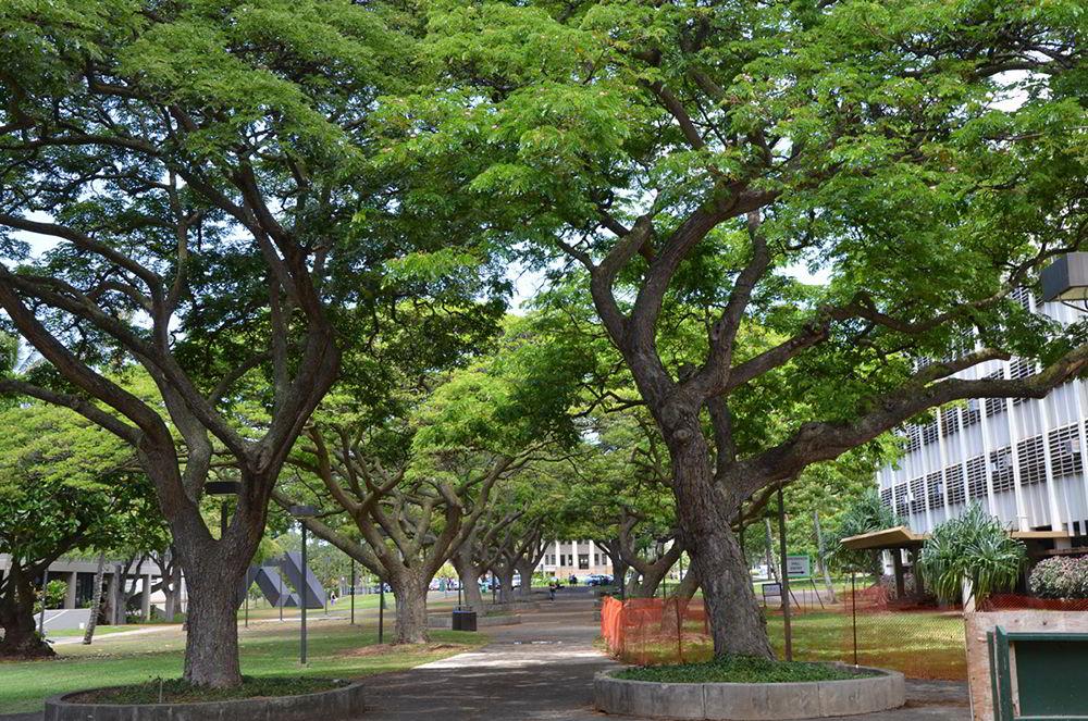 cây me tây trưởng thành