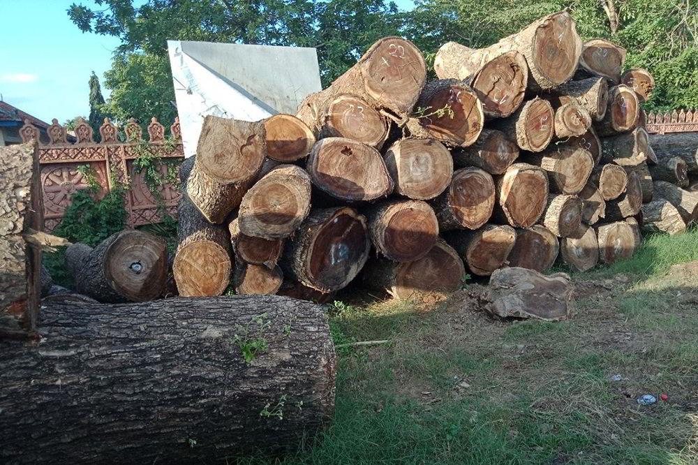 gỗ cây me cây thu hoạch