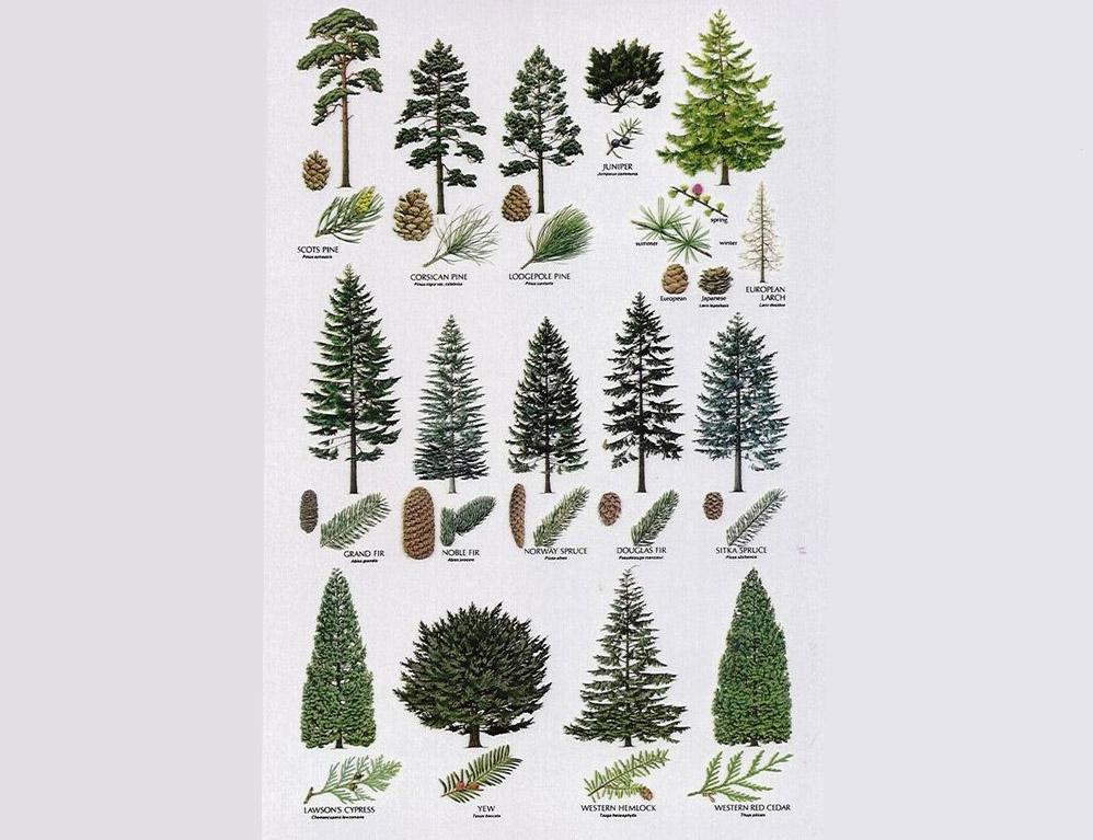 cách phân biệt gỗ thông